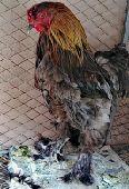 ديك براهما ودجاجه بلديه
