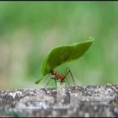مكافحة النمل الابيض رش العته النمل الابيض