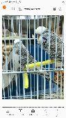 طيور حب انقليزي