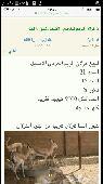 غزلان الريم العربي الاصيل