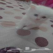 قطط شيرازي كيتن بسعر مغري