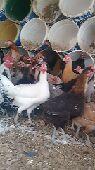 دجاج بلدي بياض