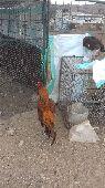دجاج باكستاني