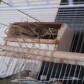 طيور زيبرا معه اربع فروخ وبيضه طيور نوع هولند