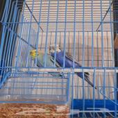 طيور الحب او البادجي اطيور اجوز