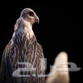مشاوير داخل وخارج حائل طيور ركاب