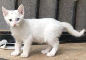 قطط انغورا تركي للبيع