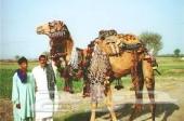 استقدام من بدو باكستان روعات غنم وابل