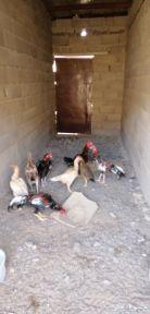 بيض دجاج باكستاني للبيع