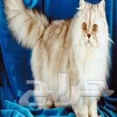 قطط شيرازيه.. الصور تختلف ولكن نفس السلالة