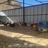دجاج بلدي نظيف بياض
