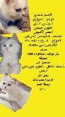للبيع قطة شيرازي