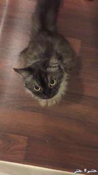 قطة شيرازيه للتبني