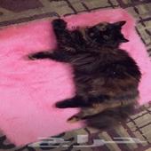 قطة سوداء للبيع