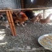 دجاج وقمري للبيع الحناكيه