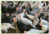 (تم البيع )دجاج رومي .