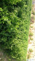 محصول مزرعة برسيم للبيع