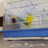 زوج طيور الحب هوقو منتج