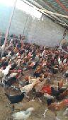 القصيم - دجاج تفاريد وجمله الاعمار 5 شهور ونص