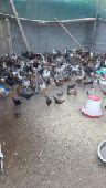 دجاج بلدي بشاير  4 اشهر عدد350 حبه