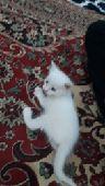 قطه شيرازي صغيره للبيع