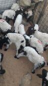 دواغير نعيم كلش خروف الحد 350