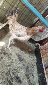 ينبع -   دجاج بلدي بياض
