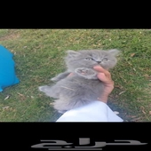 قطه شيرازي عمرها شهرين