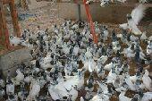 حمام باكستاني وتركي جمله للبيع