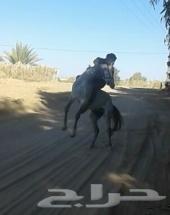 حصان منوت  الخيال  طرب