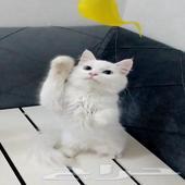 قطة صغيرة انثى شيرازي امريكي