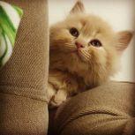قط هملايا اورنج بيور