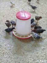 دجاج بلدى على فيومى عمر شهر
