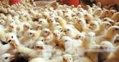 مطلوب صيصان دجاج تبوك