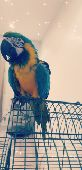 blue  amp  Gold macaw مكاو