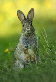 ارانب لحم المزاحمية