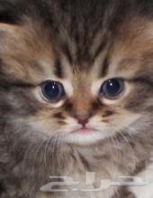 قطه انثى بالاحساء صغيره 300فقط