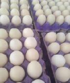بيض بكيني