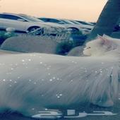 قطه شرازري للبيع