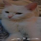 قطط شيرازي انثى وذكر