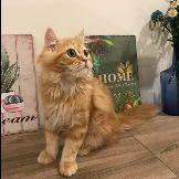 قطة شيرزايه امريكية