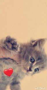 قطط الصغار عمر شهر ونص