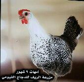 دجاج فيومي . مختلف الاعمار.