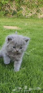 قط سكوتش بلو عمره شهرين