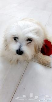 للبيع كلب الدلع الملتيزرز الكلب القزم الصغير