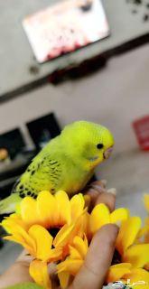 للبيع زوج طيور الحب أليف جدا ولعوب ونظيف