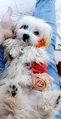 للبيع أجمل كلب نظيف ومدرب فرنسي أبيض