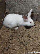 مطلوب ارنب  انثى بيضاء بعنيزة