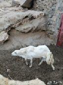 خروف فحل للبيع