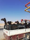 دينه دنه لنقل الإبل شمال الرياض